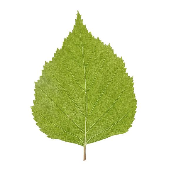 Liść brzozy a zapalenie pęcherza